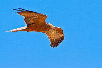 Black kite bird flying in the sky