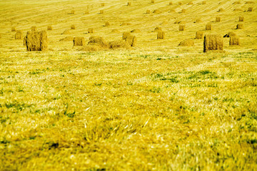 Yellow haystacks on a pure field in the late summer