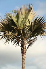 "palmier ""latania borbonica"""
