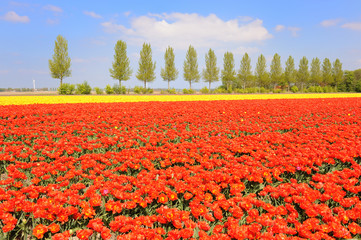 Flowerbulbs in Holland