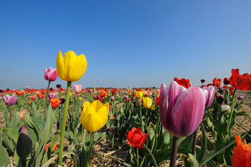 colorful tulips in Holland