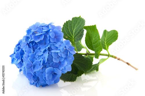Spoed canvasdoek 2cm dik Hydrangea Blue Hydrangea