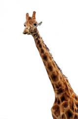 Giraffe freigestellt