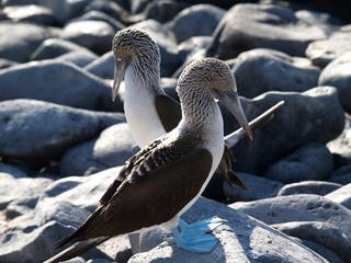 Galapagos Blue Footed Boobies