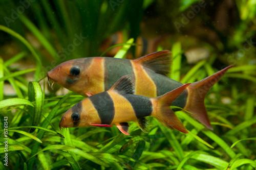 Prachtschmerle Chromobotia macracanthus - 15761543