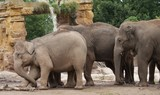 Asian Elephants: Tension in the Herd poster