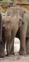 Asian Elephants: Love