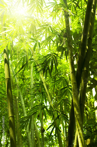 Papiers peints Bambou Bamboo forest.