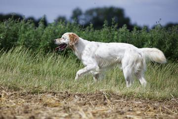 setter anglais blanc et orange trottant dans les hautes herbes