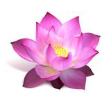 fleur de lotus - 15772137
