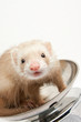 Ferret on the scale