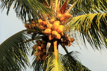 des cocos jaunes