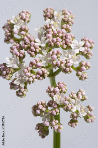 Blooming valerian white background,