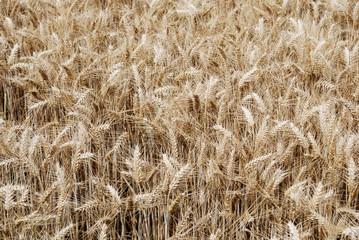 Champ de blé texture