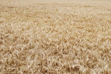 Champ de blé texture 2