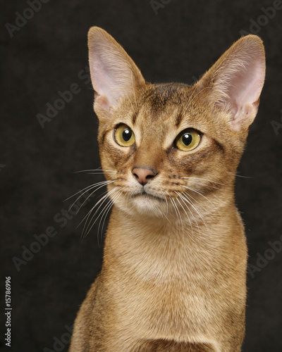 Usual Abyssinian cat