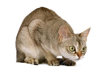 Crouching Singapura cat