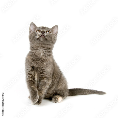 Gray kitten sitting and looking up