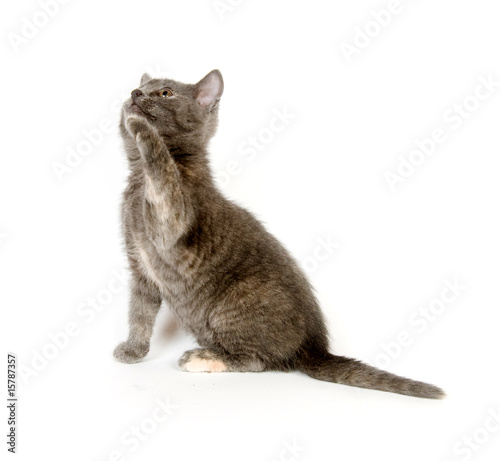 Gray kitten playing on white background