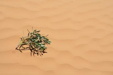 Olivenzweig auf Sandüne