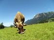 Allgäuer Kühe 59