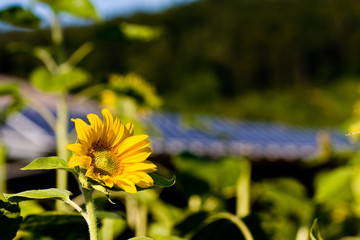 Solaranlage mit Sonnenblume