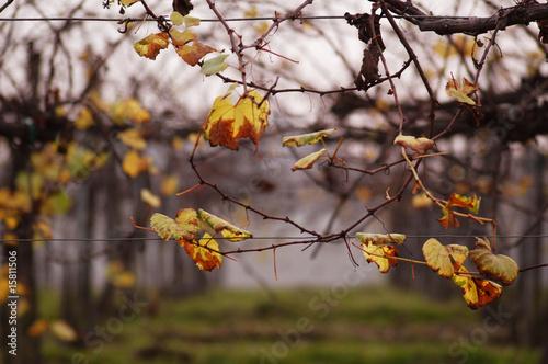 Vigneto in autunno