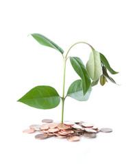 Ailing Money Tree
