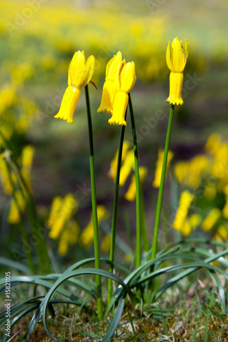 macro photo of yellow narcissus flower