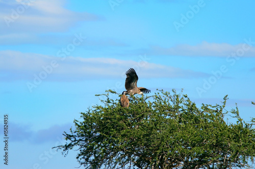 Griffon vulture on the tree