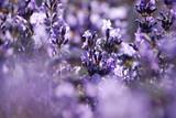 Fototapety Lavender in garden