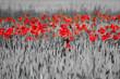 Leinwandbild Motiv red poppies black white