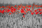 Fototapety red poppies black white