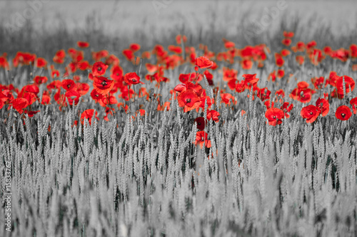 Poster Rood, zwart, wit red poppies black white