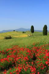 Zypressen, blauer Himmel, Mohnfelder, Toskana, Italien