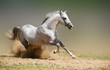 roleta: silver-white stallion in dust