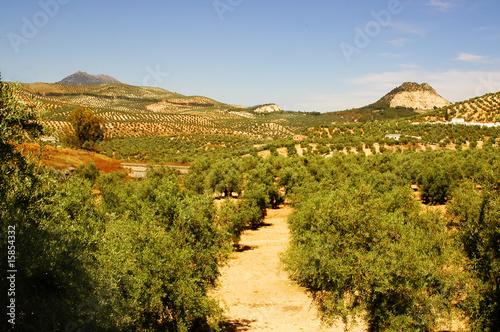 Fotobehang Olijfboom campo de olivos