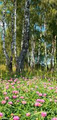 Birches in forest