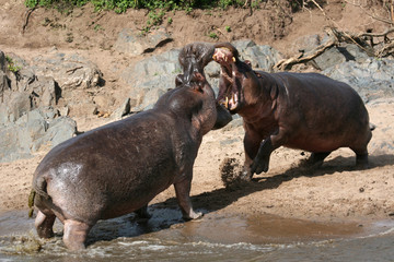 Hippos Fighting in Africa