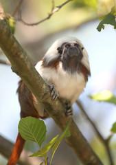 Saguinus oedipus - Cottontop Tamarin