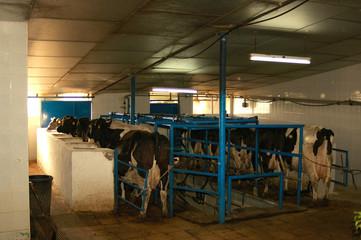 ordeño de vacas