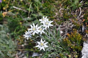 Leontopodium alpinum - Stelle alpine