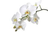 Orchidee - 15872773