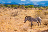 Zebra animal walking in the serengeti