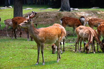 Herd of spotted deer in a japanese park