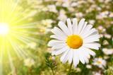 Fototapeta słoneczny - łąka - Kwiat