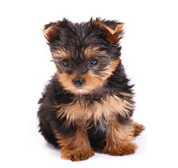 Yorkshire Terrier of a white background