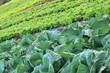 agriculture biologique, cultures maraîchères