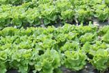 culture de salades en plein champ poster