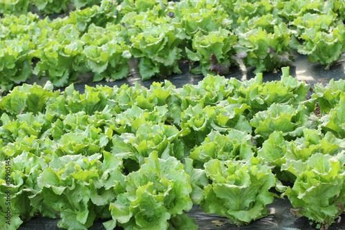 Culture de salades en plein champ photo libre de droits sur la banque d 39 images - Culture haricot vert plein champ ...